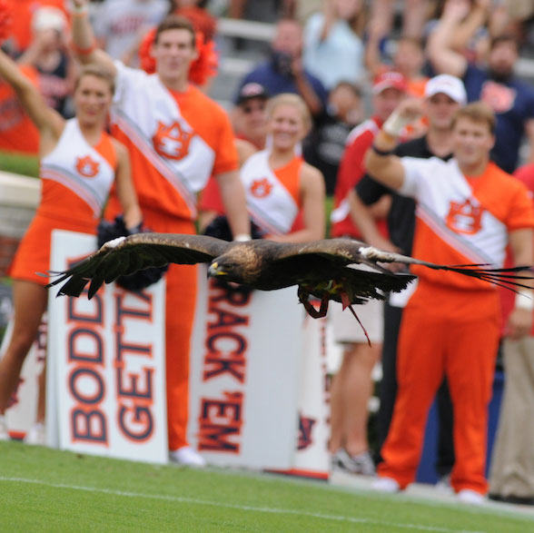 Eagle Flying with Cheerleaders in background