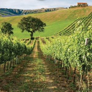 Vineyards Vignettes