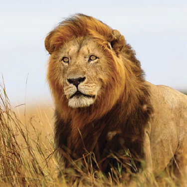 South African Explorer - Lion