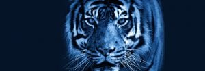A Tiger with a blue tint