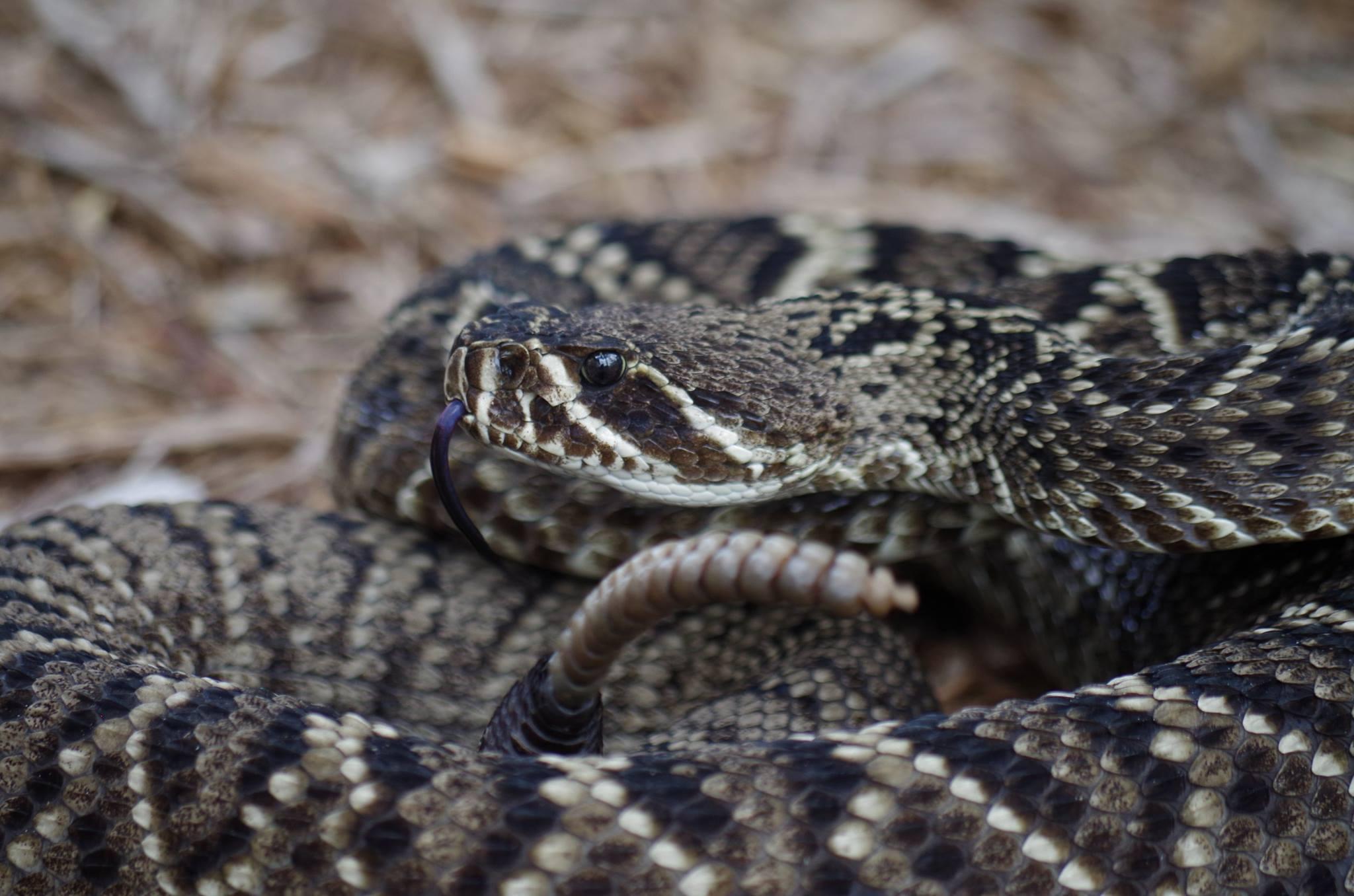 Metcalf Rattlesnake