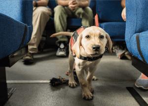 Vapor Wake puppy in training on Tiger Transit