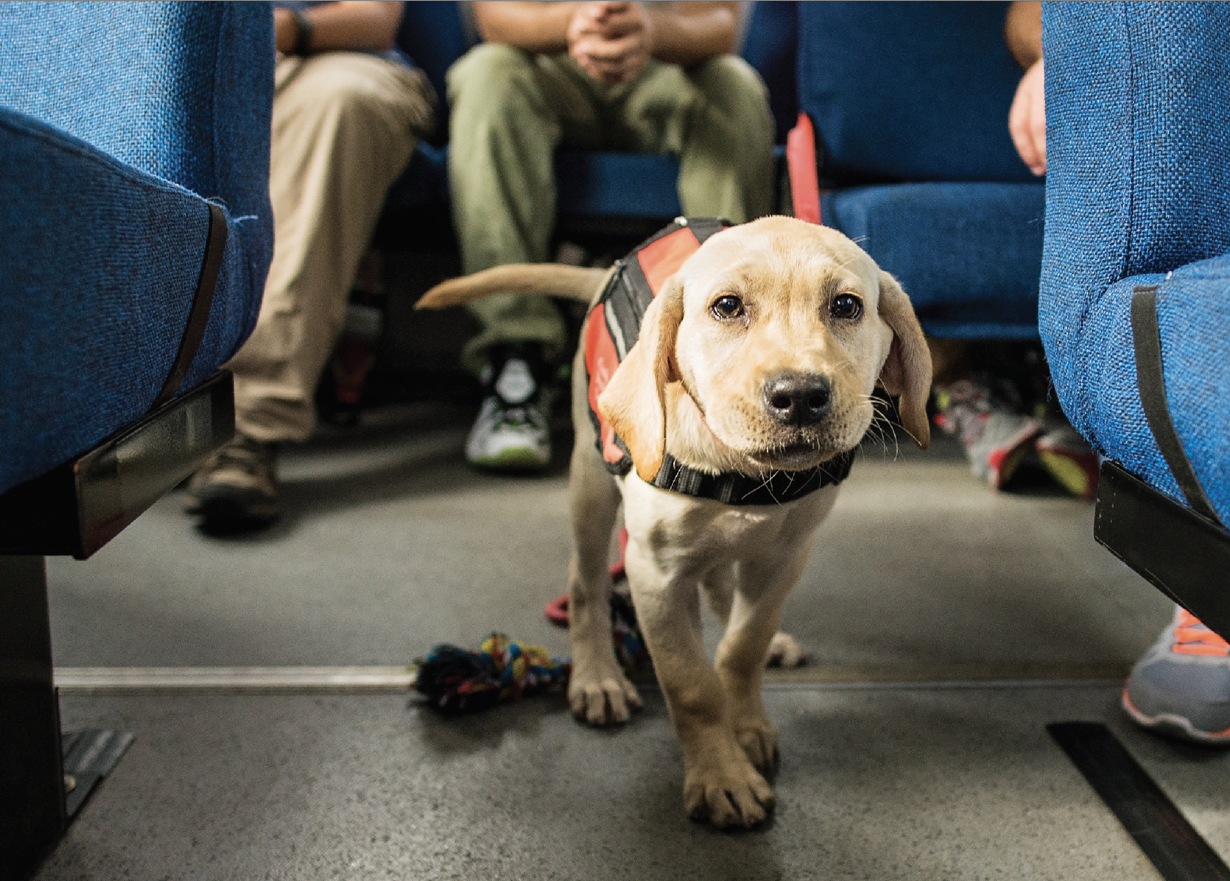 Vapor Wake puppy in training on Tiger Transit