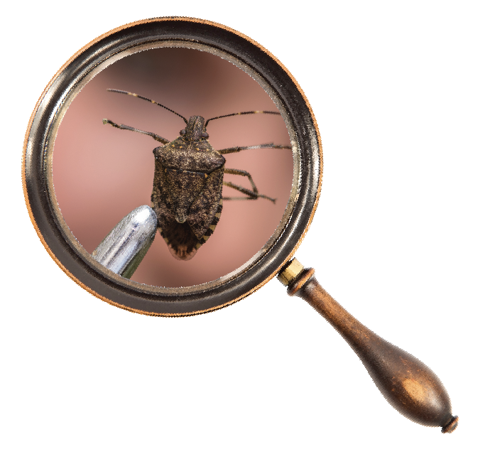 Stink bug in magnifying glass