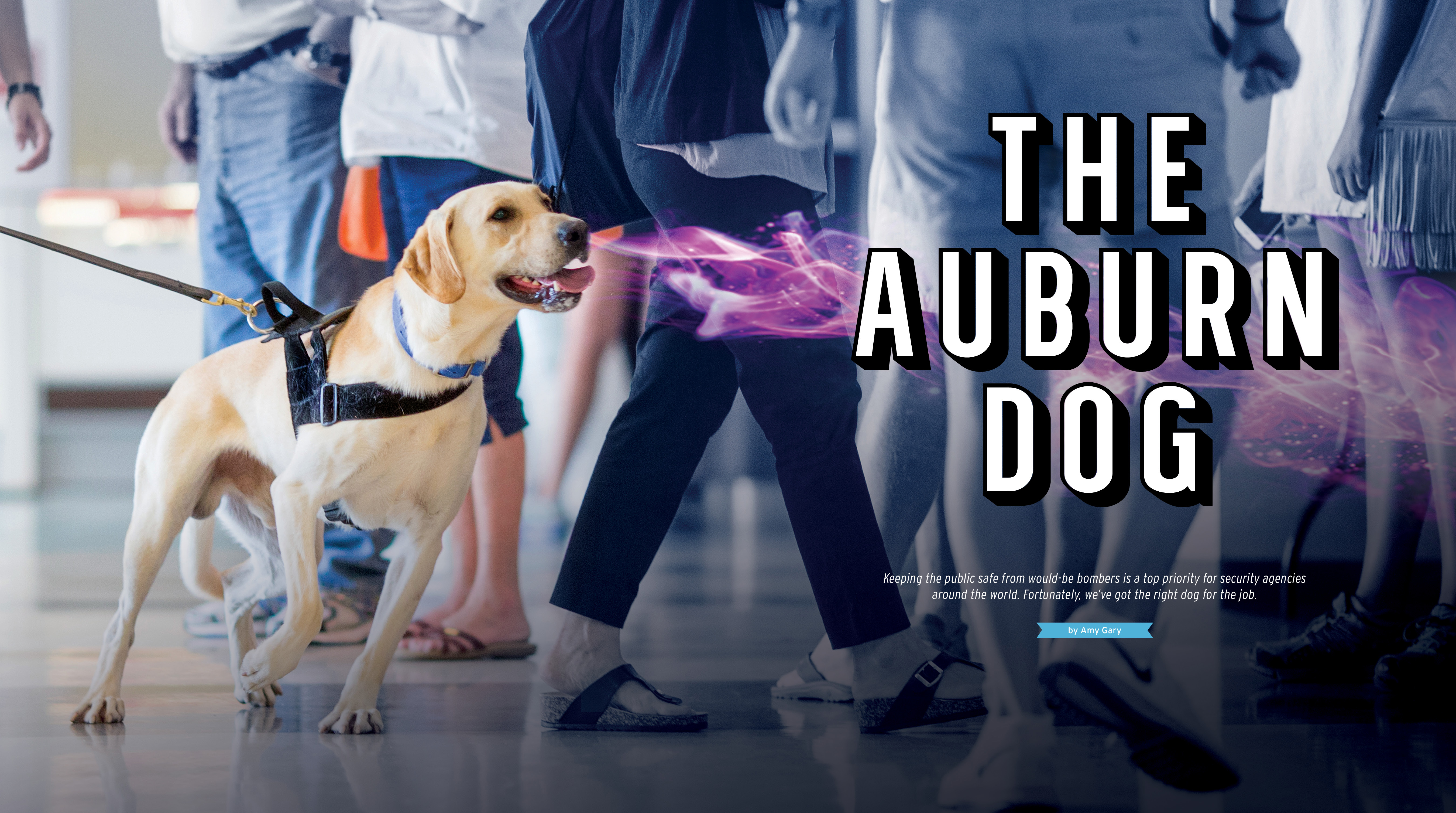 The Auburn Dog, Keeping the public safe from would-be bombers is a top priority for security agencies around the world. Fortunately, we've got the right dog for the job. By Amy Gary