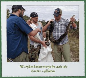 AU's python hunters wrangle the snake into its carrier, a pillowcase